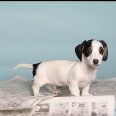 "Miniature Piebald Dachshund #Dachshund #Puppy--Never knew there was such a thing as a ""piebald"" dachshund."