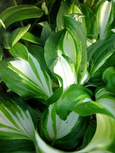 hosta Shade Garden, Shades Of Green, Houseplants, Porches, Planting, Plant Leaves, Gardens, Yard, Landscape