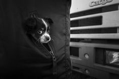 Puppy Boston Terrier, Puppies, Dogs, Photos, Animals, Boston Terriers, Cubs, Pictures, Animales