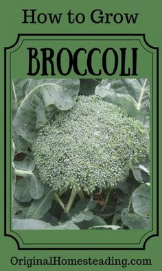 Landscape Gardeners Are Like Outside Decorators! Learn How To Grow Broccoli. Discover How To Start Broccoli Seeds Indoors As Well As Direct Seed. Growing Broccoli, Growing Vegetables, Edible Garden, Easy Garden, Indoor Garden, Garden Plants, House Plants, Nutrients In Broccoli, Art