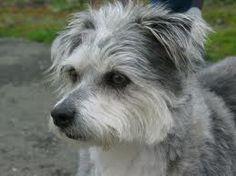 a terrier & schnauzer mix, in profile