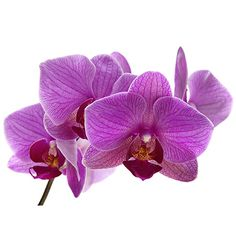 Purple Orchid Flower Meaning