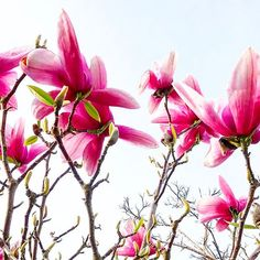 Beautiful Magnolias. Photograph taken at Chester Zoo, UK - Image credit: Rachael Taylor