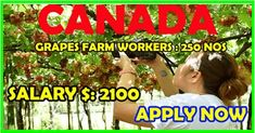 Grapes Farm Workers in Canada | Apply Now - worldswin - jobs apply and travel destinations. Find A Job, Travel Destinations, Job Offers, How To Apply, Canada, Reading, Road Trip Destinations, Destinations, Word Reading