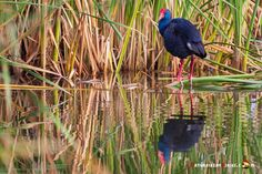 Dónde ver aves en el Algarve, Portugal - via Naturaleza y Viajes 16-01-2017 | El birdwatching, del que os hablé en este artículo que publicamos hace un par de meses, se basa en la observación y el estudio de las aves silvestres. Casi 300 especies de este grupo de vertebrados (entre rapaces, marinas, limícolas, anátidas, paseriformes y otras) se dan cita en este territorio repartidas a lo largo de todo el año. Foto: Calamón Portugal, Algarve, Bird Watching, Animals, Wild Birds, Vertebrates, Quote, Group, Studio