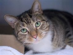 MILO - 17117 - - Brooklyn ***TO BE DESTROYED 01/04/18***MARVELOUS MILO IS A PURRFECT GENTLEMAN! Milo is a 4 year old brown and white tabby cat. The owner has had him for 4 years and is surrendering him due to the newborn having allergies. Please consider making Milo part of your family. OFFER TO FOSTER OR ADOPT AND SAVE A LOVING LIFE. MUST BE RESERVED BY NOON TOMORROW! - Click for info & Current Status: http://nyccats.urgentpodr.org/milo-17117/