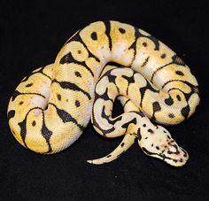 love the bumble bee ball python