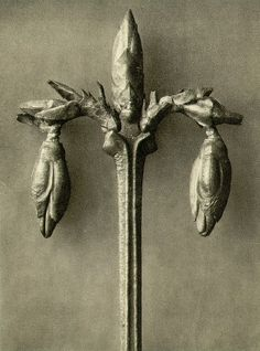 Find the latest shows, biography, and artworks for sale by Karl Blossfeldt. A teacher at the Royal Arts Museum in Berlin, Karl Blossfeldt became a celebrated… Karl Blossfeldt, Macro Photography Tips, Nature Photography, Natural Form Art, Photoshop, Paperclay, Portrait, Art Forms, Les Oeuvres