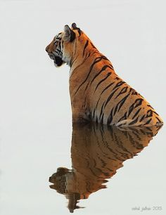 A tiger's stripes are as unique as fingerprints. They can be used to identify each individual wild tiger. Beautiful Cats, Animals Beautiful, Beautiful Pictures, Animals And Pets, Cute Animals, Wild Animals, Baby Animals, Gato Grande, Photo Animaliere