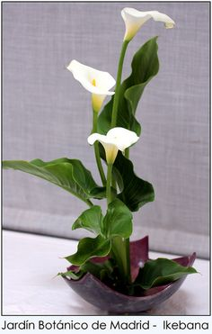 Ikebana - callas and leaves Contemporary Flower Arrangements, Tropical Flower Arrangements, Creative Flower Arrangements, Church Flower Arrangements, Church Flowers, Beautiful Flower Arrangements, Beautiful Flowers, Ikebana Arrangements, Ikebana Flower Arrangement