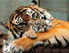 baby tiger with mom