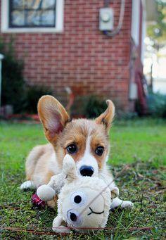 Sweet corgi pup