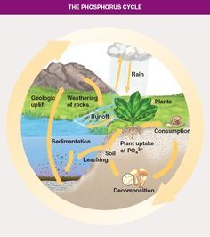 Carbon cycle httpeoucarkidsgreencycles6m great diagram how algae creates oxygen on pinterest google search carbon cycleanchor chartsliving environmentbiomesmicrobiologyecology21st ccuart Choice Image
