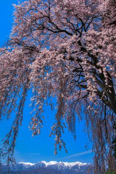 Cherry Blossom, Japan 信州、吉瀬の桜 #桜 #CherryBlossom