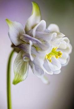 Spring Bonnet ~ Aquilegia Vulgaris