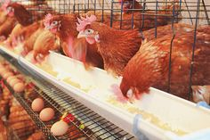The Problem With 'Cage-Free' Eggs | LIVESTRONG.COM