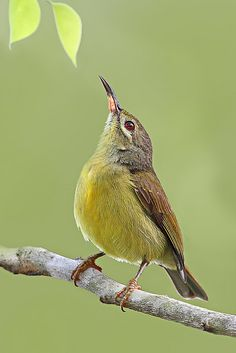 Female Brown-throated Sunbird