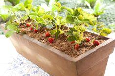 Material:Floreira de 20 cm (largura) por 80 cm (comprimento) ou cachepô Manta bidim Terra preta adubada Muda de morango Argila expandida Ser...