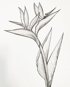 Bird Of Paradise Tattoo, Birds Of Paradise Flower, Flower Sketches, Hawaii Flowers Drawing, Hawaii Flower Tattoos, Plant Drawing, Painting & Drawing, Botanical Art, Botanical Illustration