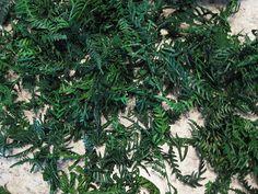 Karni Fern, Bright Green for crafting- potpourri- jar display