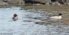 A wintering pair of mergansers in Andalusia.