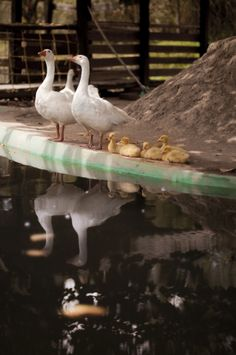 Gansos de la Granja Bird, Animals, Photos, Animales, Animaux, Birds, Animal Memes, Animal, Animais
