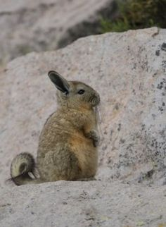 Peruvian Viscacha