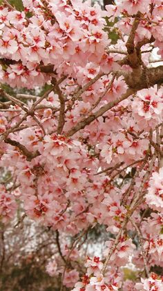 Download Wallpaper 720x1280 Cherry, Blossom, Pink, Twigs, Spring Samsung Galaxy S3 HD Background