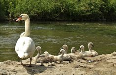 Mute Swan ~ Höckerschwan ~Cygnus olor 7 of the 9 cygnets with a parent. 2014 © Jesse Alveo.... Brilliant collection of  all bird photos by Jesse Alveo on tumblr worth looking at the whole collection