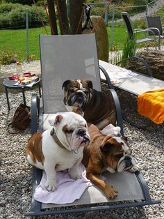 3 is not a crowd ~ it's just more love & slobbering  #englishbulldog