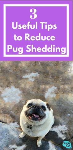 How to reduce Pug Shedding | pug care | Dog shedding