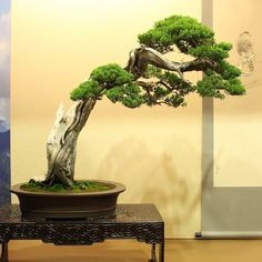 """999 Likes, 1 Comments - Bonsai Empire (@bonsaiempire) on Instagram: """"Over at the Hwa Fong show, Taiwan. Photos just posted on bonsaiempire.com #bonsai"""""""