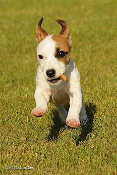 Jack Russell Terrier by paolo.nurchis, via Flickr
