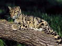 Clouded Leopard Photograph by Peter Weimann/Animals Animals—Earth Scenes Somewhere between the small cats, which can purr, and the big cats, which can roar, are clouded leopards.