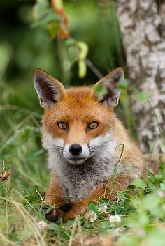 'Red Fox (Vulpes Vulpes)' by Peter Denness Most Beautiful Animals, Beautiful Creatures, Photo Animaliere, Fabulous Fox, British Wildlife, Fox Hunting, Cute Fox, Woodland Creatures, Red Fox