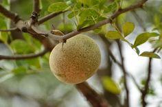 Saúde pelas Plantas: Frutas Exóticas - Maçã-de-Elefante