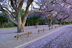 purple rain is now blooming everywhere, Sydney springtime!