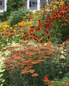 """orange achillea (like """"terracotta"""") with orange helenium, white anthemis daisies, california poppies, a large rudbeckia in back, and hints of an orange penstemon"""