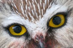 Northern Saw-whet Owl: Snowflake-like white feathers contrast with a cold stare in this composition from Merv J. Cormier.