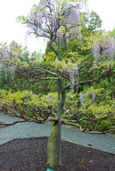 "Tree-training Wisteria for a Small Garden: They have used metal poles as the center support and guided the vine around it, pruning out the shoots to create ""branches."""
