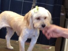Missy is an adoptable Poodle Dog in Pleasanton, CA. Missy is approximate 4 years old and 11 lbs. She will charm you with her wonderful little personality. Please contact Patricia 925-787-5825 or olvei...