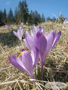 18 kwietnia 2013r. krokusy w Tatrach