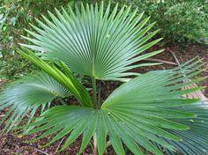 Pritchardia, un género de palmeras excepcional - http://www.jardineriaon.com/pritchardia-un-genero-de-palmeras-excepcional.html