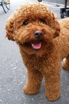 Apricot poodles make great therapy dogs #poodle