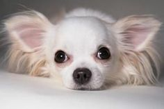 White Long-haired Chihuahua, Great facts about Chihuahuas