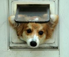 "i need a little door like this...it's a ""fluffy corgi"". so rare! i want one!"
