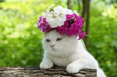CyBeRGaTa - Cats, Memes, New Mexico — Shironeko is the most laid back cat. He must be a Buddha kitty. Funny Cats, Funny Animals, Cute Animals, Crazy Cat Lady, Crazy Cats, Cat Flowers, White Cats, Black Cats, Cats And Kittens