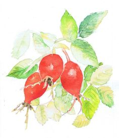 Buy Three Rosehips, Watercolour by Michele Wallington on Artfinder. Discover thousands of other original paintings, prints, sculptures and photography from independent artists.