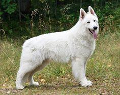 White Swiss Shepherd, Longhair - Mihela's Lion Heart