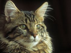 Maine Coon cats - my cat's eyes are prettier, I live with one of these his name is Bob & I love him, he is black & white
